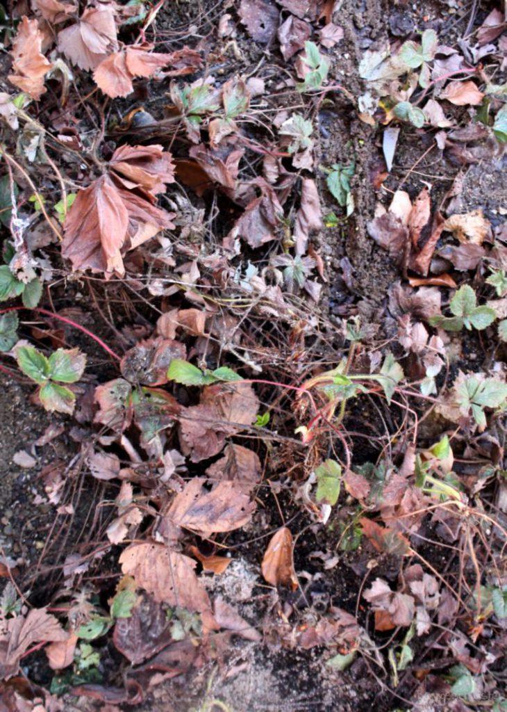 Laub und braune Blätter an Erdbeerpflanzen im Frühling
