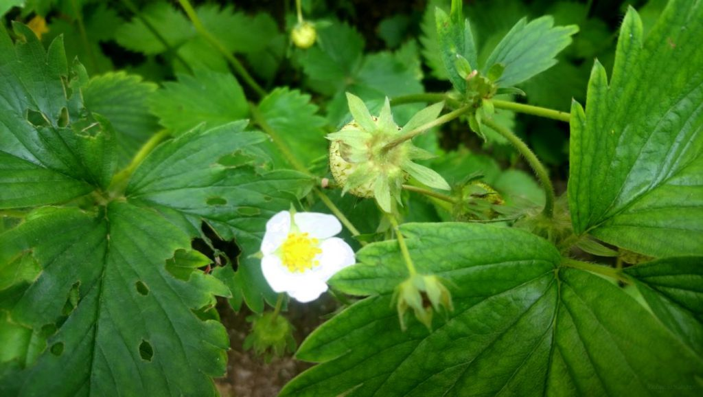 Erbeerpflanze mit Blüte