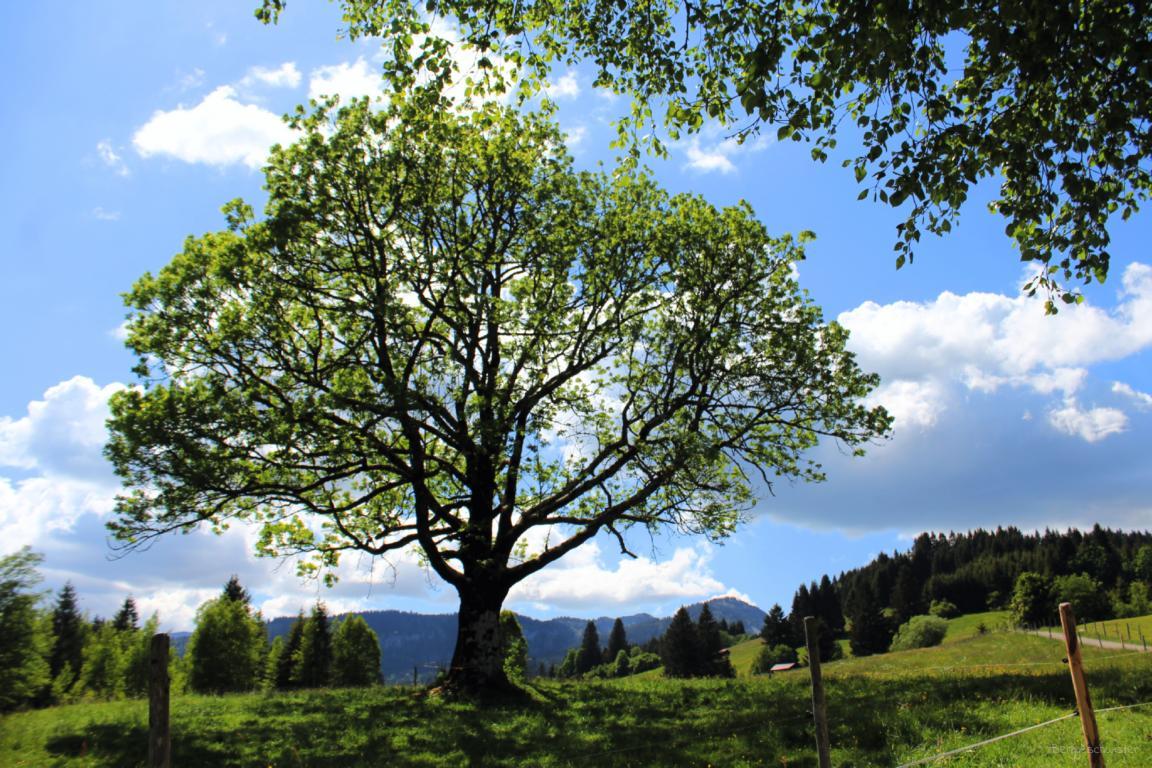 alter Baum an der Müllers Alp Breitachklamm Allgäu Breitach