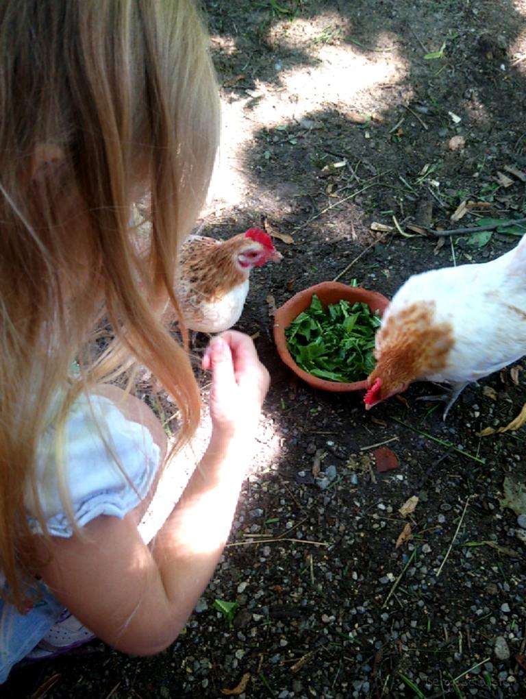 Mädchen bei Zwerghühnern